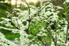 Shrub white flowers, spiraea. Plant, shrub white flowers, beautiful spring spiraea Stock Images