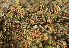 Shrub with wild fruit Stock Photo