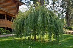 Shrub willows on a green lawn Stock Photography