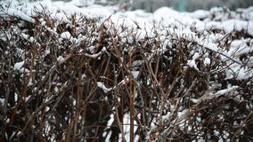 Shrub in winter during a blizzard stock video