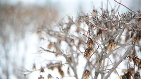 Shrub in winter during a blizzard stock video footage