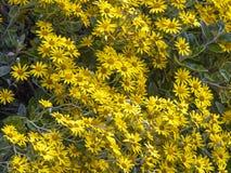 Shrub. Yellow flowering brachyglottis shrub in summer royalty free stock photo