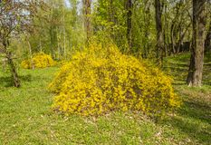 Shrub with yellow flowers in a city park stock photo