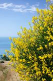 Spartium Junceum shrub. Shrub with yellow fragrant flowers against the background of the sea stock photography