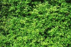 Shrubbery, зеленая предпосылка изгородей Стоковое фото RF