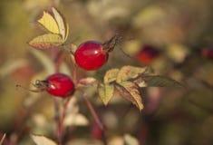 Shrubbery одичалого поднял с зрелыми красными плодоовощами Стоковая Фотография RF