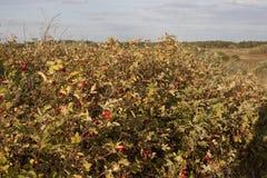 Shrubbery одичалого поднял с зрелыми красными плодоовощами Стоковая Фотография