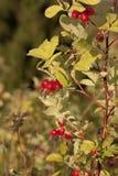 Shrubbery одичалого поднял с зрелым красным fruitsn Стоковые Фотографии RF