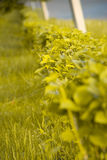 The Shrubbery along path. Photography of the shrubbery year daytime along path stock photos