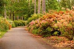 Shrubbery bloeiende rododendrons Royalty-vrije Stock Foto's