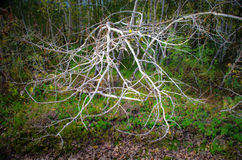 Shrubbery with dead tree. Wilderness shrubbery with dead aspen tree royalty free stock photos