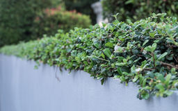 Shrubbery. Low shrubbery on white solid wall, selective focus Royalty Free Stock Photo