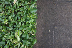 Shrubbery Stock Images