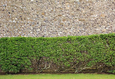 A shrubbery seen against a rock wall Royalty Free Stock Photo