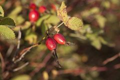 Shrubbery of wild rose with ripe red fruits Stock Photography