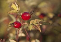 Shrubbery of wild rose with ripe red fruits Royalty Free Stock Photography