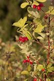 Shrubbery of wild rose with ripe red fruitsn Royalty Free Stock Photos