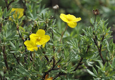 Shrubby Cinquefoil. With two flowers - Potentilla fruticosa Royalty Free Stock Photography