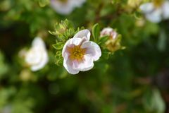 Shrubby Cinquefoil Blink Royalty Free Stock Photo