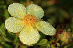 Shrubby Cinquefoil flower Royalty Free Stock Image
