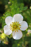Shrubby Cinquefoil Royalty Free Stock Image