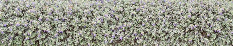 Shrubby germander blue flowers hedge Stock Image