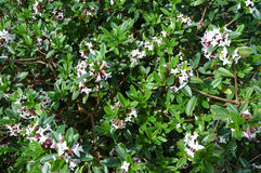 Shrubs. A greenery shrub with pink flowers Stock Photos