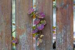 Shrubs on the fence. Autumn leaves, rich in color stock image