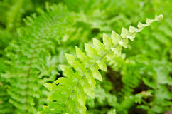 Shrubs fern. Background. Royalty Free Stock Images