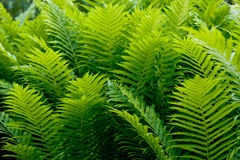 Shrubs fern Stock Photo