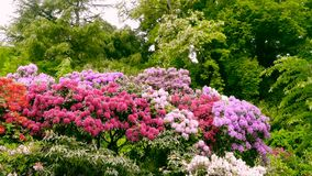 Shrubs with flowers of rhododendrons. Royalty Free Stock Images