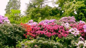 Shrubs with flowers of rhododendrons. Color correction. stock footage