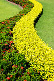 Shrubs garden decoration. Shrubs from Ixora 'Sunkist' under the family of Rubiaceae, with red flower and Ficus microcarpa 'Golden' from the family of Moraceae ( Royalty Free Stock Photo