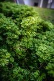 Shrubs: Geranium Aralia: Polyscias Guilfoylei. Common shrubs: Geranium Aralia: Polyscias Guilfoylei also known in Malay as Pokok Tapak Kucing & x28;Cat's Paw Stock Image