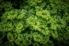 Shrubs: Geranium Aralia: Polyscias Guilfoylei. Common shrubs: Geranium Aralia: Polyscias Guilfoylei also known in Malay as Pokok Tapak Kucing & x28;Cat's Paw Stock Photo