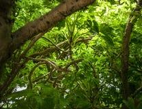 Shrubs: Geranium Aralia: Polyscias Guilfoylei. Internal view of common shrubs: Geranium Aralia: Polyscias Guilfoylei also known in Malay as Pokok Tapak Kucing & Royalty Free Stock Images