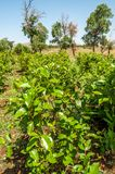 Shrubs with leaves of khat. (chat), Ethiopia royalty free stock photo