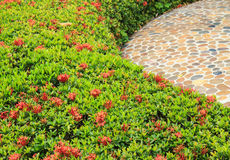 Shrubs of red Ixora Stock Image