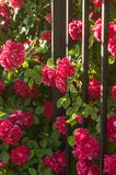 Shrubs with red roses. Small bushes with flowers of red roses stock photography