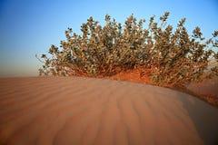 Shrubs in the sandy desert. Stock Photo