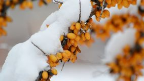 Shrubs of sea-buckthorn with yellow berries under snow. Shrubs of sea-buckthorn with yellow berries under a snow stock footage