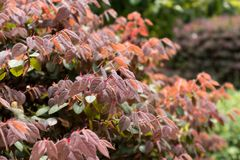 Loropetalum chinense var.rubrum. Shrubs, sometimes small trees, more branched, branchlets with star hairs. Ye Jizhi, ovate, 2~5 cm long, 1.5 to 2.5 cm wide stock photo