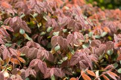 Loropetalum chinense var.rubrum. Shrubs, sometimes small trees, more branched, branchlets with star hairs. Ye Jizhi, ovate, 2~5 cm long, 1.5 to 2.5 cm wide royalty free stock photo