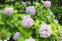 Shrubs tender blue hydrangea with a blue heart delicate petals in green leaves, bud consists of small inflorescences. royalty free stock images