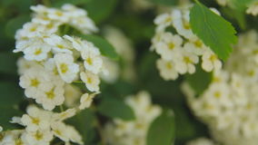 Shrubs and trees with white flowers in the park. stock footage