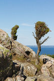 Shrubs. Two shrubs on mossy rocks by the sea Stock Image