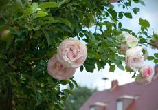 Shrum of beautiful blooming pink roses near to the street stock photos