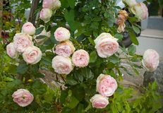 Shrub of beautiful blooming pink roses near to the street royalty free stock photo