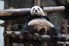 Shubby panda arkivfoto