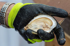 Shucked Oyster Royalty Free Stock Photography